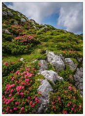 20140810_135334_lr.jpg (amanessinger) Tags: mountain flower slovenia mangart manessingercom