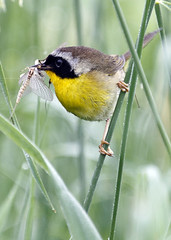 Common Yellowthroat (Boganeer) Tags: commonyellowthroat yellowthroat warbler birds bird nature newbrunswick nouveaubrunswick atlanticcanada maritimes maritime canon canonxti geothlypistrichas geothlypis eating feeding hunting insect oiseau perch grass birding