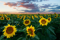 Sunflower Evening (Robin-Wilson) Tags: flowers summer field iso100 evening bravo colorado farm denver sunflower digitalblend milesandmiles nikond800 nikon1635mmf4 1exp1exp