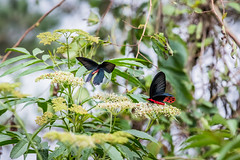 Two male Aurora Swallowtails  (Sharleen Chao) Tags: color male nature canon butterfly dof bokeh flight taiwan nopeople  70200mm     chineseelder 14   atrophaneurahorishana   taiwanendemic 5dmarkiii sambucusformosananakai    visitingflower   auroraswollowtail