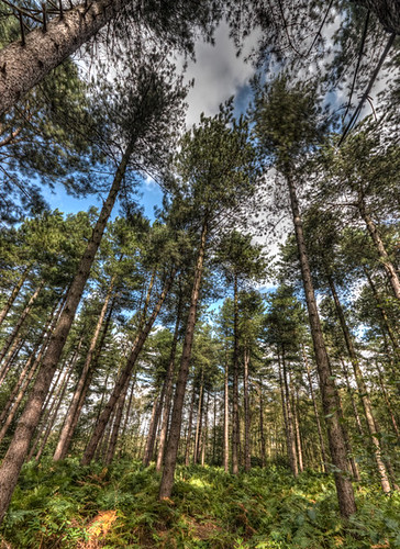 Waveney forest