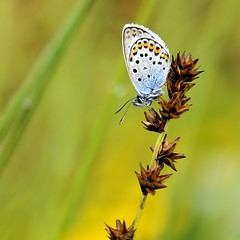 A testa in gi (luporosso) Tags: naturaleza macro nature closeup butterfly nikon butterflies natura papillon mariposa farfalla farfalle naturalmente nikond300s
