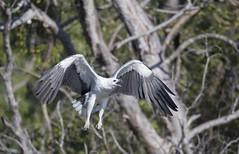 white bellied sea eagle 11 (Jim Bendon) Tags: australianbirds capeyork whitebelliedseaeagle bendon birdsinfilght canon800f56