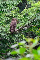 Owl - Brown Fish @ Kotagiri, Tamil Nadu, India (DavidA99) Tags: ketupazeylonensis typicalowls199