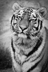 Life in captivity (pakerholm) Tags: park portrait blackandwhite bw sadness zoo stripes tiger prison norrkping captivity wildlifepark kolmrden