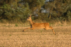 Roe Deer buck (Wouter's Wildlife Photography) Tags: nature mammal jumping wildlife coat explore bok buck roedeer billund rådyr ree capreoluscapreolus zoogdier pattedyr