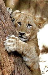African Lion cub learning how to sharpen claws DSC_0102 (ikerekes81) Tags: tree african lion claw sharpen africanlion