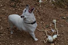 Ochi cazando moscas (esta_ahi) Tags: barcelona espaa dog spain flora plantas onions perro cebes perrito gos ochi cebollas peneds bulbos amaryllidaceae alliumcepa  castellvdelamarca cultivadas lesconilleres