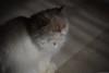 S U Z Y (dr.7sn Photography) Tags: orange cats pets point في ح حسن جدا جدة الدكتور د عالي الشهري الفوتوغرافي المصور بسة فيس اورنج مستوى بيكي hemalayan هيملايا