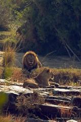 DSC_6570 (Arno Meintjes Wildlife) Tags: africa nature animal southafrica wildlife lion safari krugerpark pantheraleo arnomeintjes