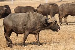 Syncerus caffer (Dindingwe) Tags: zambia southluangwa synceruscaffer africanbuffalo zambie buffledafrique