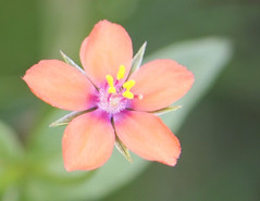 Scarlet Pimpernel (ekaterina alexander) Tags: pictures pink flowers wild summer england flower nature scarlet photography sussex petals blossom five bloom alexander pimpernel anagallis arvensis ekaterina
