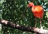 Ibis rouge - Eudocimus ruber