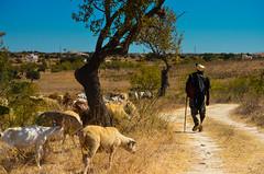 Shepherd and flock - rural (Brad Higham) Tags: old hot portugal rural spain sheep shepherd flock poor dry multi conditions sotu rosenmontagszug whitenight giornodellamemoria week8 location4 wildgoosechase wolfmoon a4p myattic focuspocus londonicesculptingfestival bemyflickrvalentine week5theme ds106photoblitz kl112 australiaday2013 locspring2013 stroll1302 whitenightmelbourne