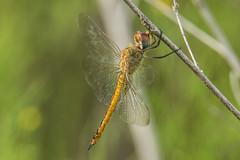 wandering glider (explored 9/18/2014) (robert salinas) Tags: austin texas