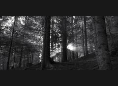 shy sun (Toni_V) Tags: wood bw sun monochrome forest sunrise schweiz switzerland blackwhite europe suisse hiking 28mm rangefinder svizzera wald wanderung m9 neuenburg 2014 creuxduvan noiraigue elmaritm 140906 ©toniv leicam9 jurahöhenweg l1018550