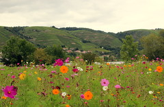 Côte rotie vineyard (Croix-roussien) Tags: flowers nature fleurs countryside vineyards nationalgeographic