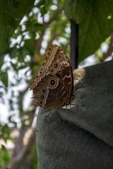 Look Me In The Eye (thefeverhead) Tags: butterfly virginia botanicalgardens lewisginter henrico