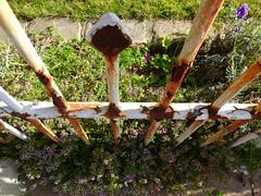 Grenzbertritt-border crossing (Anke knipst) Tags: flower fence rust pflanze blume zaun rost thymian thyme