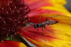Ichneumon wasp on Gaillardia flower #2 (Lord V) Tags: macro bug insect wasp ichneumon