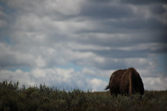 Buffelo Yellowstone (TobyPhotos) Tags: wallpaper panorama clouds america canon landscape nationalpark amazing colorado wildlife picture awsome co wa yellowstone wyoming bison wy buffelo bffel grandteaton leights