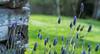 It's a beautiful day (patricia.alegri) Tags: flores lilas lavanda