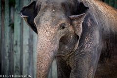 _MGL8912.jpg (shutterbugdancer) Tags: ears trunk elephant asianelephant pachyderm fortworthzoo angel