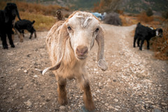 trip in the village (samal photography) Tags: animal wild highway photography adventure nature sheep village beauty