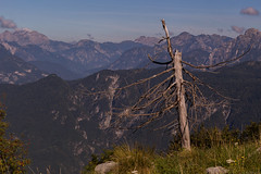 Cruelty of mountain life (carlo.goweather) Tags: life vita albero tree trees mountain eos100d canon canon100d canoneos100d canon50mm udine friuliveneziagiulia friuli prealpigiulie alpigiulie alpi canin slovenia park alps