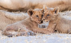 Brother & sister. (SeattleHVAC172) Tags: nature africa lion predator safari natural light leo comfort lions carnivore big cat botswana bigcat african wildlife photography selinda pride marc mol africaddict