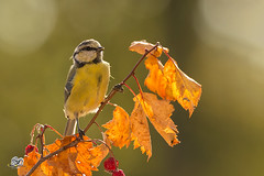 golden leaves (Geert Weggen) Tags: sweden nature animal perennial closeup cute plant moss funny happy summer ground spring bright light branch seed yellow bird tit titmouse leaves geert weggen jmtland ragunda