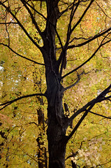 Stay Gold (charlottehathawayfeatherstone) Tags: fall tree forest southwestern ontario london outdoor