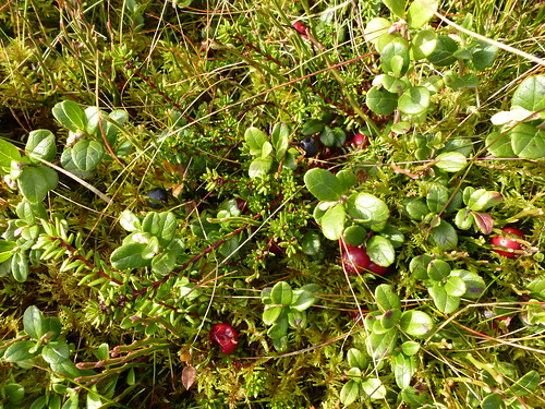 P16 Blaeberry & Cowberry on Brux Hill