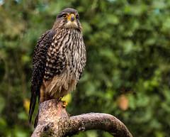 New Zealand Falcon (Kiwi-Steve) Tags: karearea nz newzealand newzealandfalcon falcon nikon nikond7200 bird bushhawk sparrowhawk bushfalcon