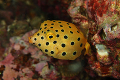 Yellow Boxfish Juvenile 2016Oct-2 (Gomen S) Tags: fish animal wildlife nature macro tg3 pt056 torch ring diffuser flash hk hongkong china asia tropical 2016 night autumn olymups diving ocean sea