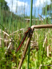 The Lodge - Sandy (May 2015) (herbman101) Tags: nature photo uk england bedfordshire sandy thelodge rspb birdreserve naturereserve insect damselfly largereddamselfly pyrrhosomanymphula