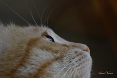 Infinity (saravanni) Tags: gatto cat cateyes cats blondecat cannellathecat redcat katzen chat gato eyes animals animali animalplanet kittysuperstar