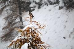 ART_8456m (MILESI FEDERICO) Tags: milesi montagna milesifederico italia italy piemonte piedmont alpi alpicozie altavallesusa altavaldisusa autunno fall federicomilesi nikon nikond7100 d7100 iamnikon automne visitpiedmont valsusa valdisusa valliolimpiche valledisusa nital 2016 novembre europa europe neve nevicata snow bird animale animali fauna sigma150500 sigma poiana