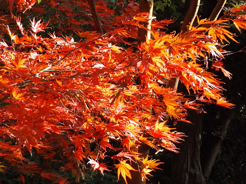 Japanese Maple in the Secret Garden, Blenheim Palace, Woodstock, Oxfordshire, 5 November 2016