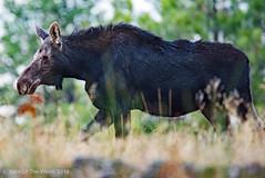 Ole Ma Moose (jimgspokane) Tags: moose wildlife washingtonstate turnbullwildliferefuge nikonflickraward