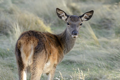 A Backward Glance (Ralph J Clark) Tags: reddeer calf autumn bushypark sigma150500mmf563dgoshsm