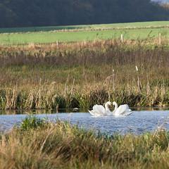 Mute Swan Heart, Vissing Enge 2016 (Jesper Krogh, DK) Tags: muteswan svanepar swan swancouple vissingenge lake s svane knopsvane s