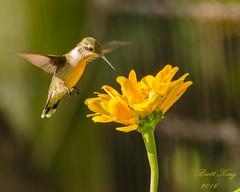 Hummingbird  and flower (dbking2162) Tags: hummingbird flowers flower yellow birds bird nature wildlife animal plants botanical feet