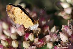 Pearl Crescent Butterfly 8.26.16 (Des Lea) Tags: nature macro landscape bugs insects sedum flower summer warm pretty pearlcrescentbutterfly identification desralea