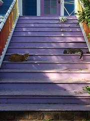 Orange Kitty and Franklin (artnoose) Tags: tabbies porch door front berkeley stairs steps purple cats cat tabby grey gray franklin kitty orange orangekitty