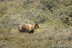 Cinnamon Grizzly Profile (Alfred J. Lockwood Photography) Tags: alfredjlockwood nature mammal bear brownbear grizzly denalinationalpark tundra morning summer nationalpark alaska
