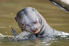 Otter and fish (Tambako the Jaguar) Tags: close closeup devouring giantotter otter profile water river eating fish food holding wildanimal wild wildlife nature pantanal matogrosso brazil nikon d5