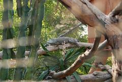 DSC_0121 (RD1630) Tags: fuerteventura oasis park reptile animal tier reptilie schlange snake summer outside outdoor sunny nature natur tortoise schildkrte