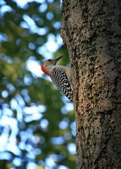 Red-bellied Woodpecker 1 (andywilson1963) Tags: redbelliedwoodpecker woodpecker centralpark newyorkamerica wildlife nature bird