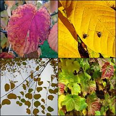 Autumn quartet, Arley Arboretum (alanhitchcock49) Tags: arley arboretum worcestershire 19 october 2016 visit by redditch u3a digital photography group mosaic collage quartet
